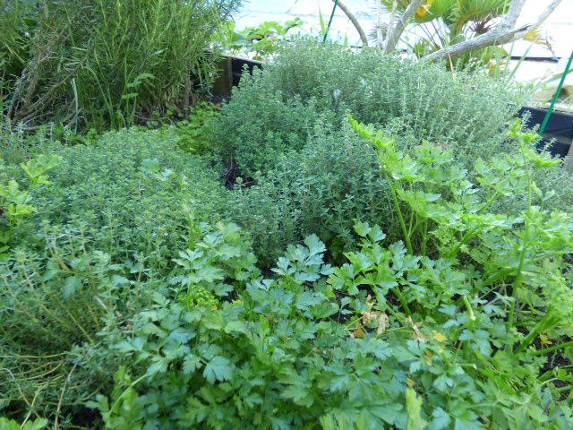 Herbes aromatiques au Coeur des Vignes Pauillac